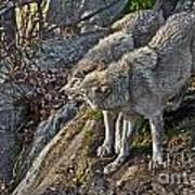 Timber Wolf Pictures 1094 Art Print