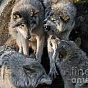 Timber Wolf Pictures 1096 Art Print