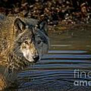 Timber Wolf Pictures 1103 Art Print