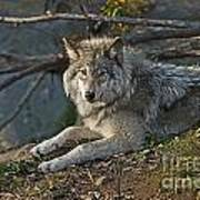 Timber Wolf Pictures 1148 Art Print