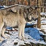 Timber Wolf Pictures 1175 Art Print