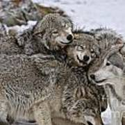 Timber Wolf Pictures 120 Art Print