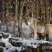 Timber Wolf Pictures 1206 Art Print