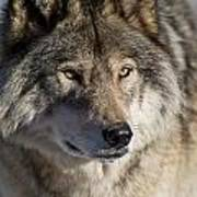 Timber Wolf Pictures 1218 Art Print