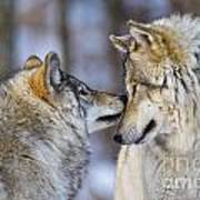 Timber Wolf Pictures 1230 Art Print