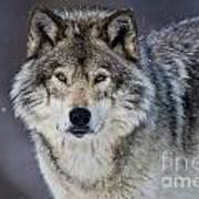 Timber Wolf Pictures 1271 Art Print