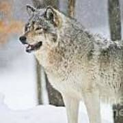 Timber Wolf Pictures 1302 Art Print