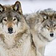 Timber Wolf Pictures 1312 Art Print