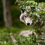 Timber Wolf Pictures 1328 Art Print