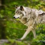 Timber Wolf Pictures 1329 Art Print