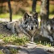 Timber Wolf Pictures 1363 Art Print