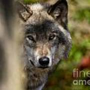 Timber Wolf Pictures 1365 Art Print