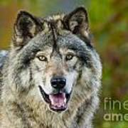 Timber Wolf Pictures 1388 Art Print