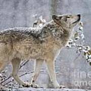 Timber Wolf Pictures 1401 Art Print