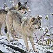 Timber Wolf Pictures 1417 Art Print