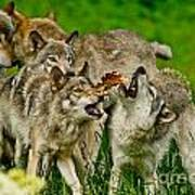 Timber Wolf Pictures 1593 Art Print