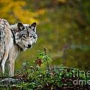 Timber Wolf Pictures 1627 Art Print