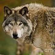 Timber Wolf Pictures 1629 Art Print