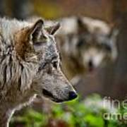 Timber Wolf Pictures 1693 Art Print