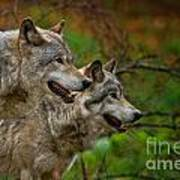 Timber Wolf Pictures 1710 Art Print