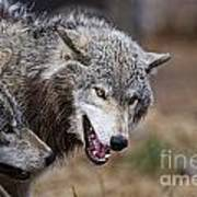 Timber Wolf Pictures 173 Art Print