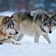 Timber Wolf Pictures 190 Art Print