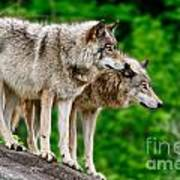 Timber Wolf Pictures 191 Art Print