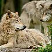 Timber Wolf Pictures 192 Art Print