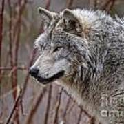 Timber Wolf Pictures 197 Art Print