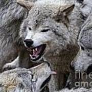 Timber Wolf Pictures 210 Art Print