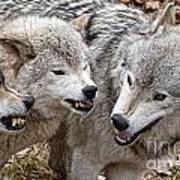 Timber Wolf Pictures 213 Art Print