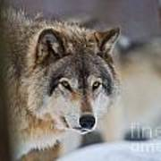 Timber Wolf Pictures 259 Art Print