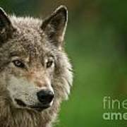 Timber Wolf Pictures 261 Art Print