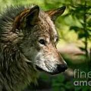 Timber Wolf Pictures 263 Art Print