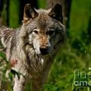 Timber Wolf Pictures 266 Art Print
