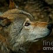 Timber Wolf Pictures 268 Art Print