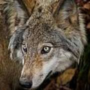 Timber Wolf Pictures 270 Art Print