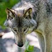 Timber Wolf Pictures 294 Art Print