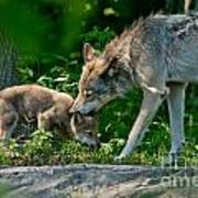 Timber Wolf Pictures 332 Art Print