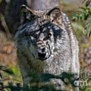 Timber Wolf Pictures 405 Art Print