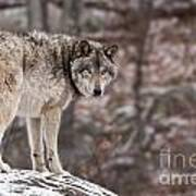 Timber Wolf Pictures 498 Art Print