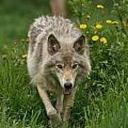 Timber Wolf Pictures 59 Art Print