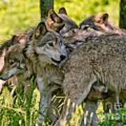 Timber Wolf Pictures 61 Art Print