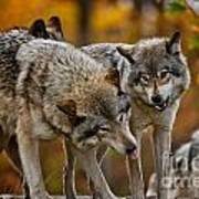 Timber Wolf Pictures 62 Art Print