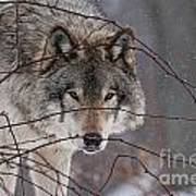 Timber Wolf Pictures 620 Art Print