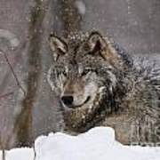 Timber Wolf Pictures 74 Art Print