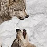 Timber Wolf Pictures 775 Art Print