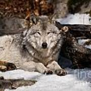 Timber Wolf Pictures 776 Art Print