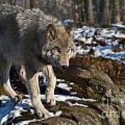 Timber Wolf Pictures 969 Art Print