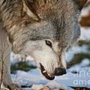 Timber Wolf Pictures 985 Art Print